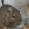デグーマウスを知ったあなた! 飼い方の前に知るべきデグーの魅力4か条!